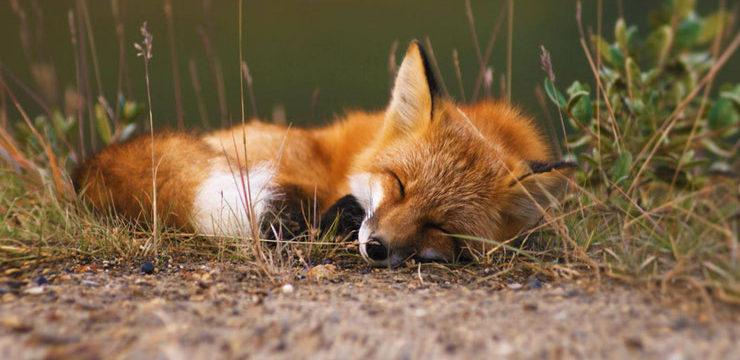 renard-roux2