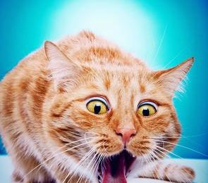 vomissement_chat