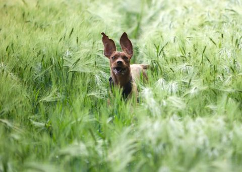 dog-in-the-barley-field-835690_960_720