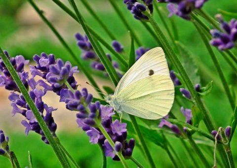 butterfly-3758754_960_720